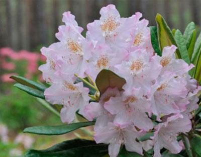 Рододендроны – морозоустойчивые сорта