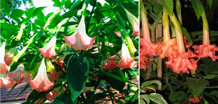 Бругмансия – фото цветов