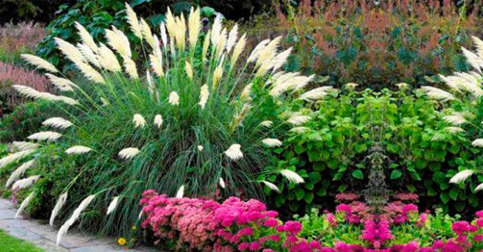 Обзор интересных сортов пампасной травы