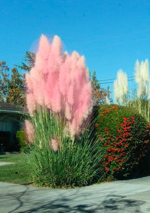 Розовым цветом цветут сорта