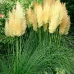 Пампасная трава фото и описание