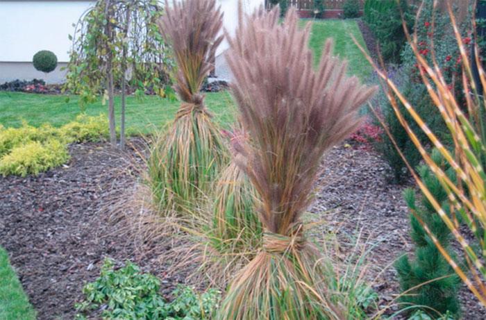 Пампасная трава – уход