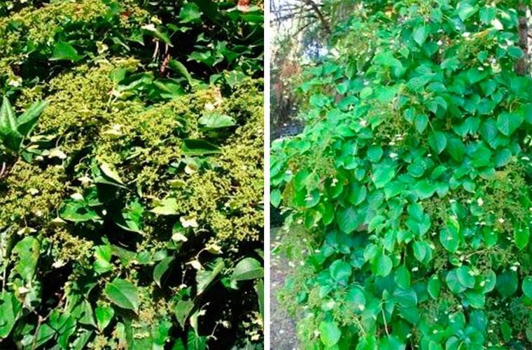 Вьющиеся растения для беседки многолетние
