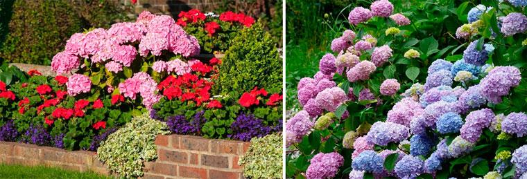 Как изменить цвет цветков гортензии?