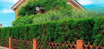 Живая изгородь из кустарников
