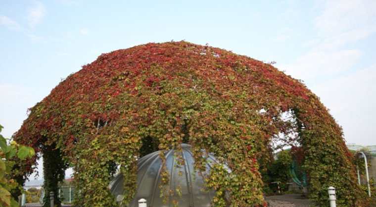 Девичий виноград: посадка и уход, фото