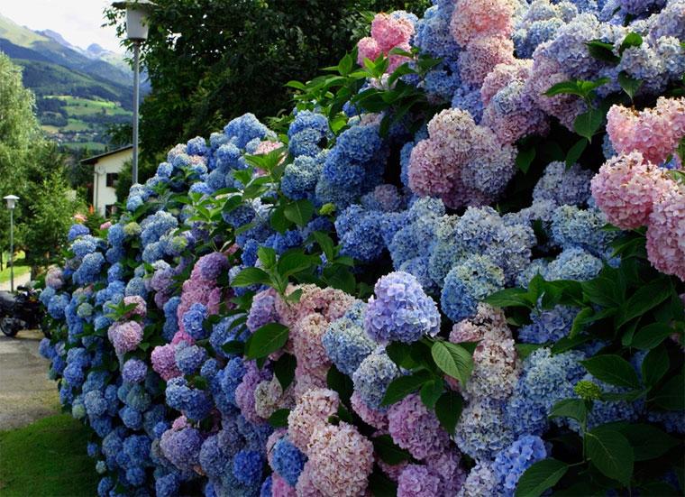 Зимостойкие кустарники, цветущие все лето