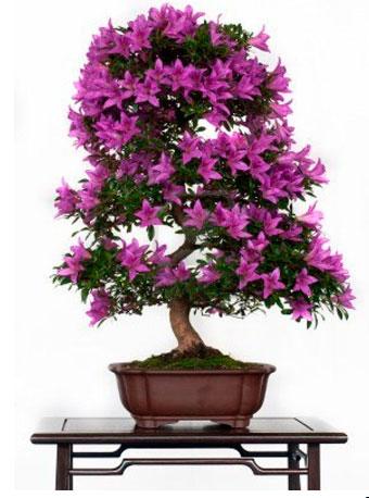 Азалия японская фиолетовая
