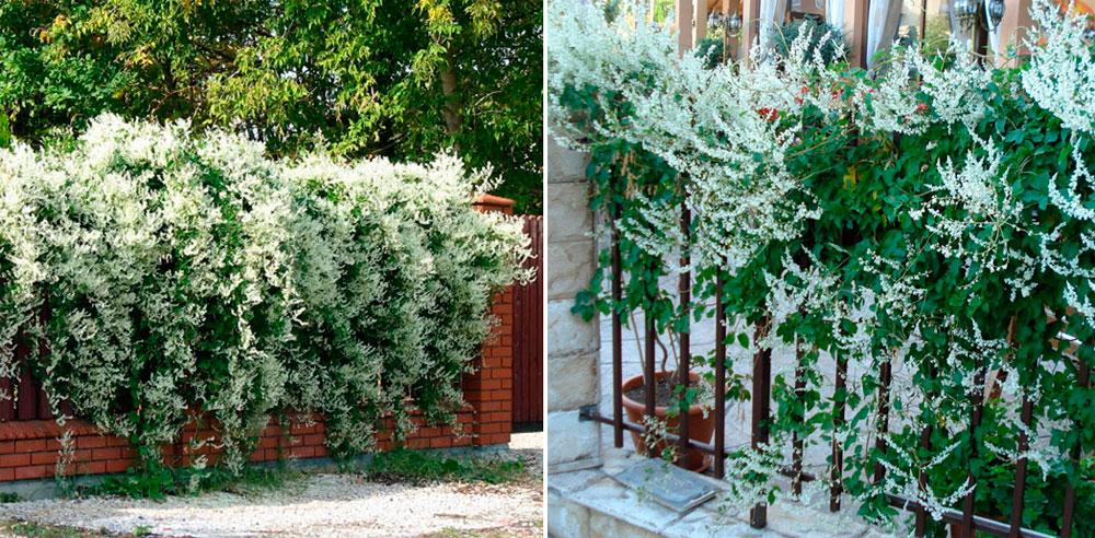 Вьющиеся растения для забора быстрорастущие многолетние