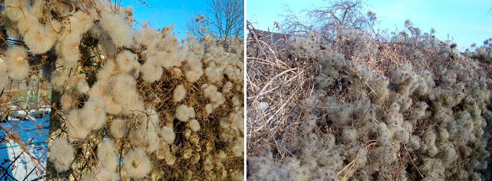 Вьющиеся растения для забора быстрорастущие – фото клематиса зимой