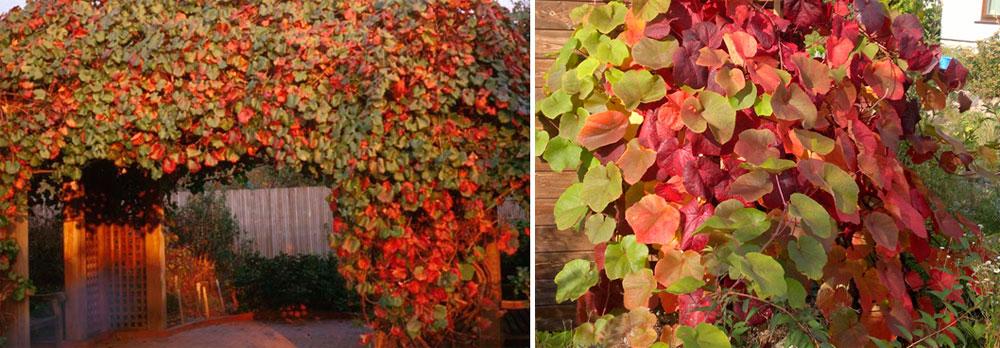 декоративные разновидности винограда