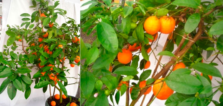 Мандариновые декоративные деревья для дома – фото
