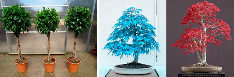 Карликовое декоративное дерево Бонсай