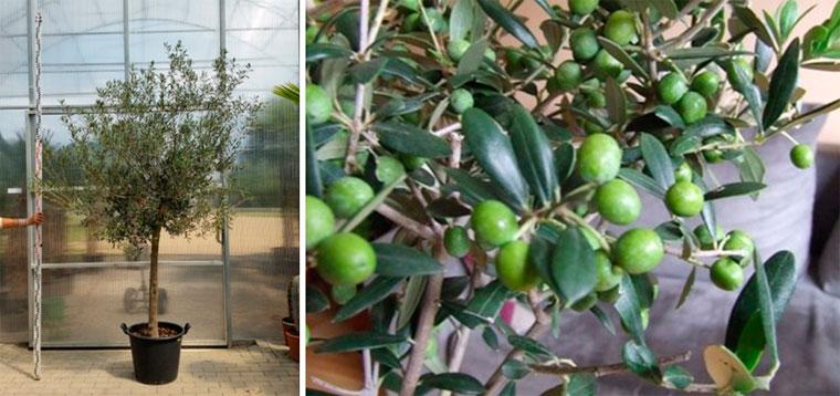 Оливка карликовая европейская