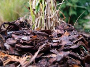 Как укрыть декоративные травы на зиму – насыпь сосновой коры