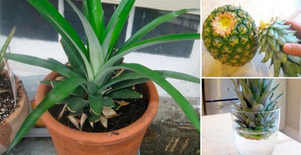 Как вырастить ананас дома из верхушки, фото