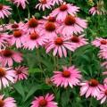 Многолетние цветы для дачи – фото