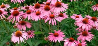 Многолетние цветы для дачи – фото с названиями