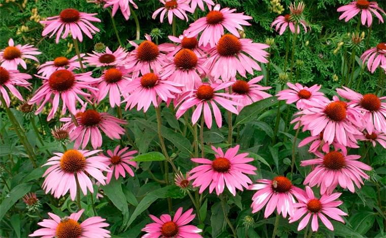 цветы на даче фото с названиями