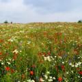Мавританский газон: плюсы и минусы