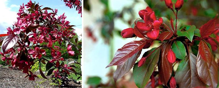 Яблоня сорта «Роялти»