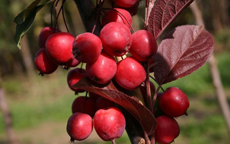 Декоративная яблоня с красными листьями – фото