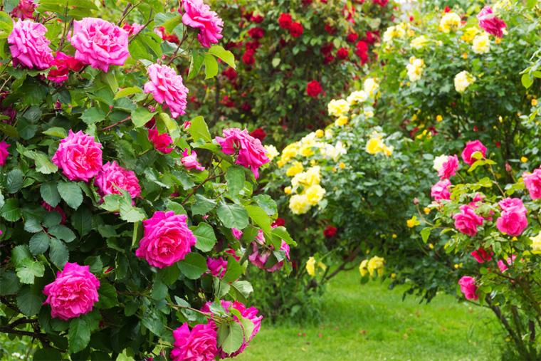 Роза – уход и выращивание в саду