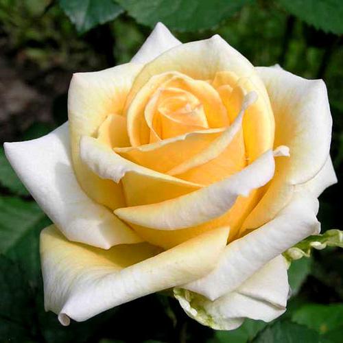 Сорт розы - Казанова