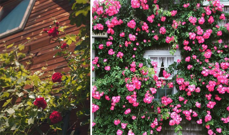 Фото. Прекрасные плетистые розы