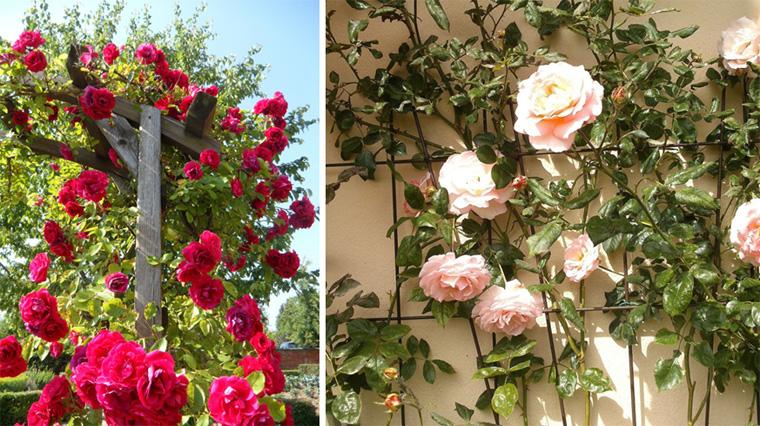Роза английская выращивание и уход в 323