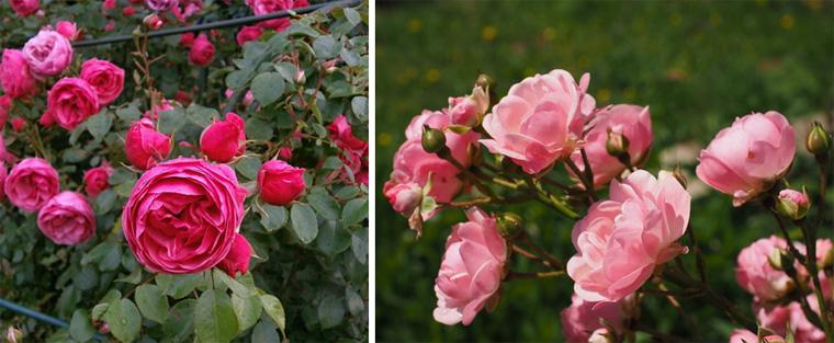 Фото. Крупноцветковые розы