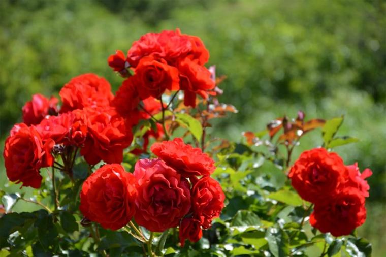 Фото. В солнечном месте розы будут обильно цвести