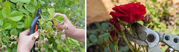Фото. Обрезка отцветших цветов усиливает цветение