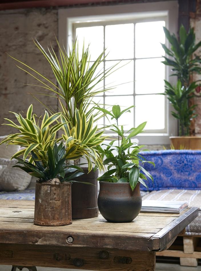 Как выбрать растение драцены