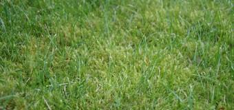Как избавиться от мха на газоне?