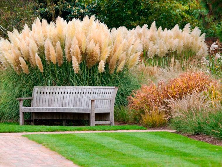 Пампасная трава посадка и уход – фото