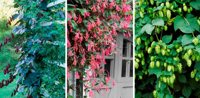 Вьющиеся растения для забора быстрорастущие