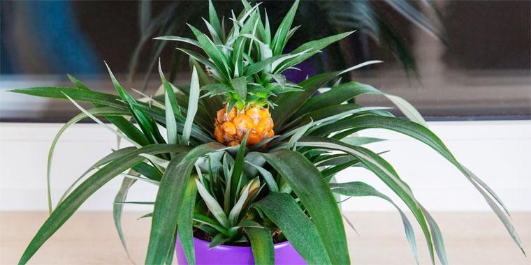 Комнатный ананас - посадка уход особенности цветок фото видео
