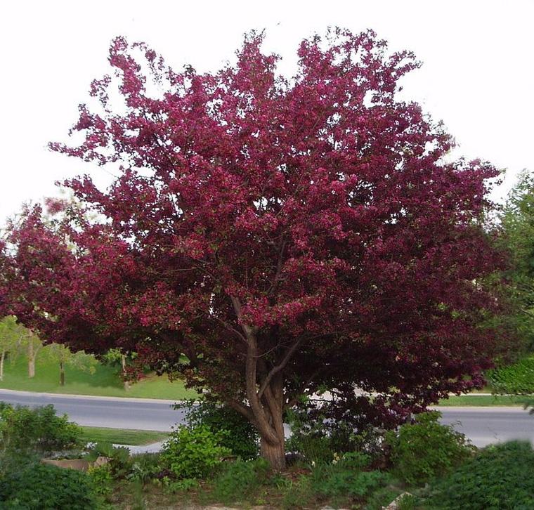 Декоративная яблоня с красными листьями