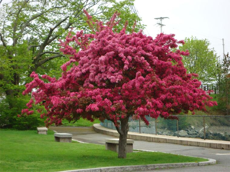 Деревья с красными листьями в ландшафтном дизайне
